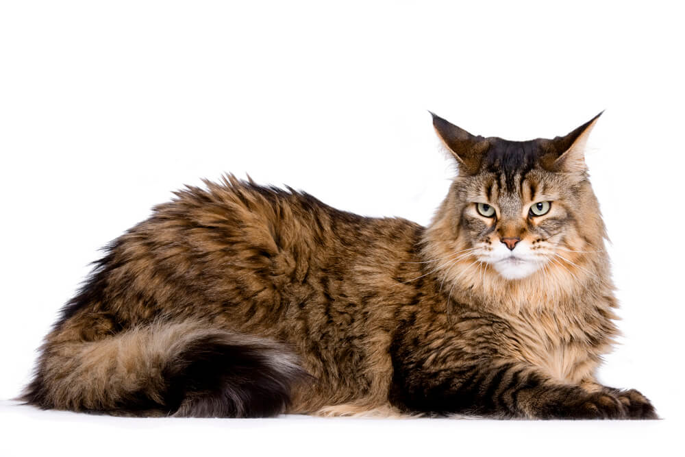 Katze mit viel Haar