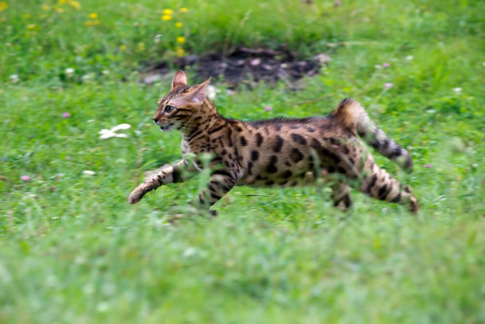 Katze rennt