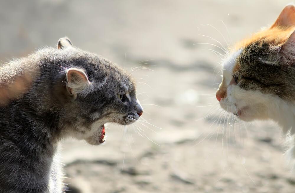2 aggressive Katzen